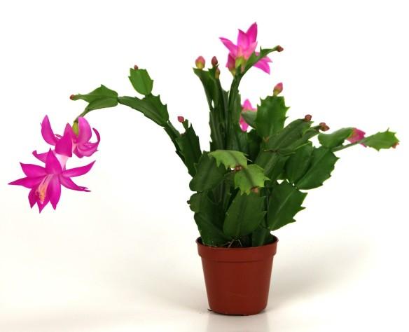 christmas-cactus-2